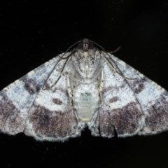 Cryphaea xylina at Ainslie, ACT - 11 Nov 2020