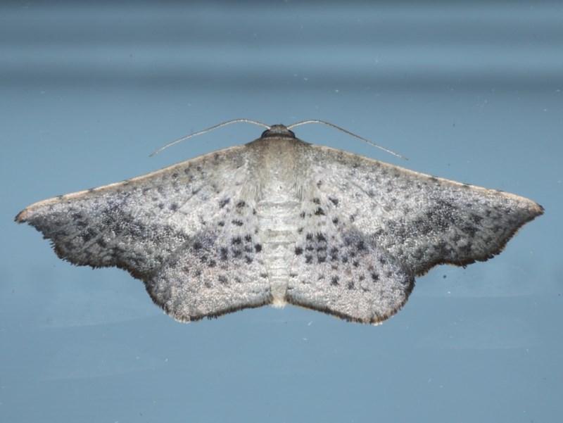 Aglaopus centiginosa at Ainslie, ACT - 10 Nov 2020