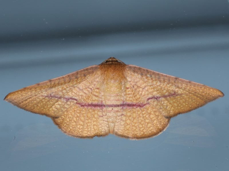 Aglaopus pyrrhata at Ainslie, ACT - 10 Nov 2020