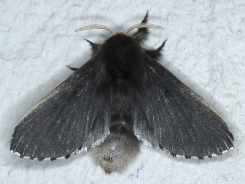 Symphyta nyctopis at Ainslie, ACT - 11 Nov 2020