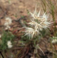 Rytidosperma sp. (Wallaby Grass) at Hughes Grassy Woodland - 12 Nov 2020 by JackyF