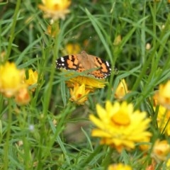 Vanessa kershawi (Australian Painted Lady) at Hughes Grassy Woodland - 12 Nov 2020 by JackyF