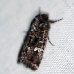 Ectopatria horologa (A Noctuid moth) at Goorooyarroo - 6 Nov 2020 by ibaird