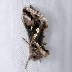 Chrysodeixis argentifera (Tobacco looper) at Goorooyarroo - 6 Nov 2020 by ibaird