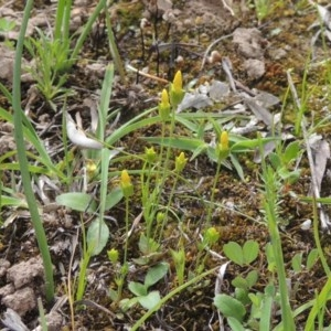 Cicendia quadrangularis at Gungaderra Grasslands - 5 Oct 2020