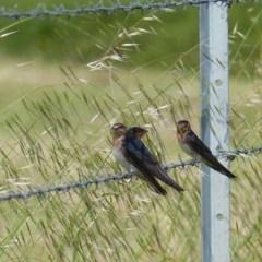 Hirundo neoxena (Welcome Swallow) at Bega, NSW - 12 Nov 2020 by MatthewHiggins
