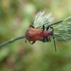 Ecnolagria grandis (Honeybrown beetle) at Queanbeyan West, NSW - 13 Nov 2020 by Ghostbat