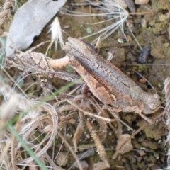 Pycnostictus sp. 1 (Confusing bandwing) at Queanbeyan West, NSW - 13 Nov 2020 by Ghostbat