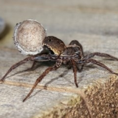 Unidentified Wolf spider (Lycosidae) (TBC) at Melba, ACT - 10 Nov 2020 by kasiaaus