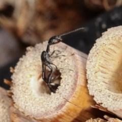 Gasteruption sp. (genus) at Melba, ACT - 11 Nov 2020