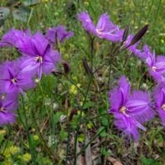 Thysanotus tuberosus subsp. tuberosus (Common Fringe-lily) at Mount Majura - 12 Nov 2020 by sbittinger