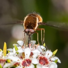 Staurostichus sp. (genus) (Unidentified Staurostichus bee fly) at ANBG - 13 Nov 2020 by Roger
