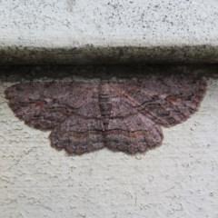 Ectropis excursaria (Common Bark Moth) at Flynn, ACT - 13 Nov 2020 by Christine