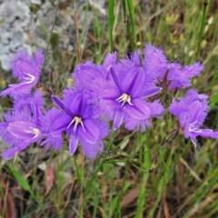 Thysanotus tuberosus subsp. tuberosus (Common Fringe-lily) at Forde, ACT - 12 Nov 2020 by JohnBundock