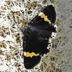 Eutrichopidia latinus (Yellow-banded Day-moth) at Lower Cotter Catchment - 10 Nov 2020 by JohnBundock