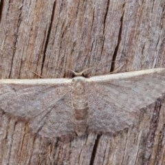 Idaea costaria (White-edged Wave) at Melba, ACT - 10 Nov 2020 by kasiaaus