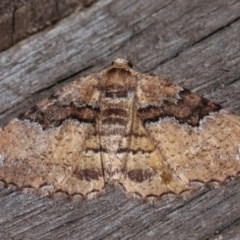 Aporoctena (genus) (A Geometrid moth) at Melba, ACT - 10 Nov 2020 by kasiaaus