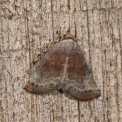 Mataeomera mesotaenia (Mini Owlet Moth) at Melba, ACT - 10 Nov 2020 by kasiaaus