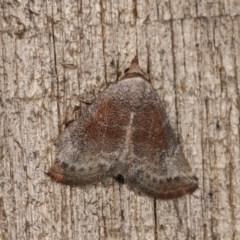 Mataeomera mesotaenia (Mini Owlet Moth) at Melba, ACT - 10 Nov 2020 by kasiaaus