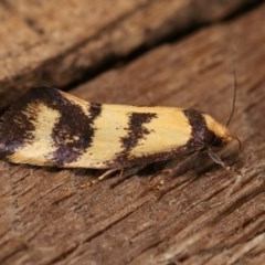 Olbonoma triptycha (Concealer moth) at Melba, ACT - 10 Nov 2020 by kasiaaus