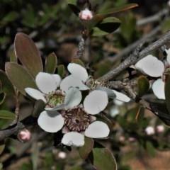 Leptospermum brevipes (Grey Tea-tree) at Lower Cotter Catchment - 10 Nov 2020 by JohnBundock