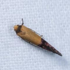 Eupselia satrapella and similar species at Melba, ACT - 10 Nov 2020