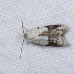Tracholena sulfurosa (A tortrix moth) at Melba, ACT - 10 Nov 2020 by kasiaaus