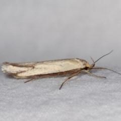 Philobota protecta (A concealer moth) at Melba, ACT - 10 Nov 2020 by kasiaaus