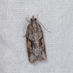 Acropolitis rudisana (A leafroller moth) at Melba, ACT - 10 Nov 2020 by kasiaaus