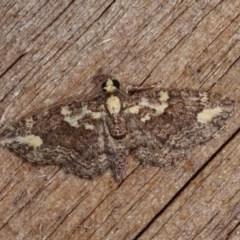 Pasiphilodes testulata (Pome Looper Moth) at Melba, ACT - 10 Nov 2020 by kasiaaus