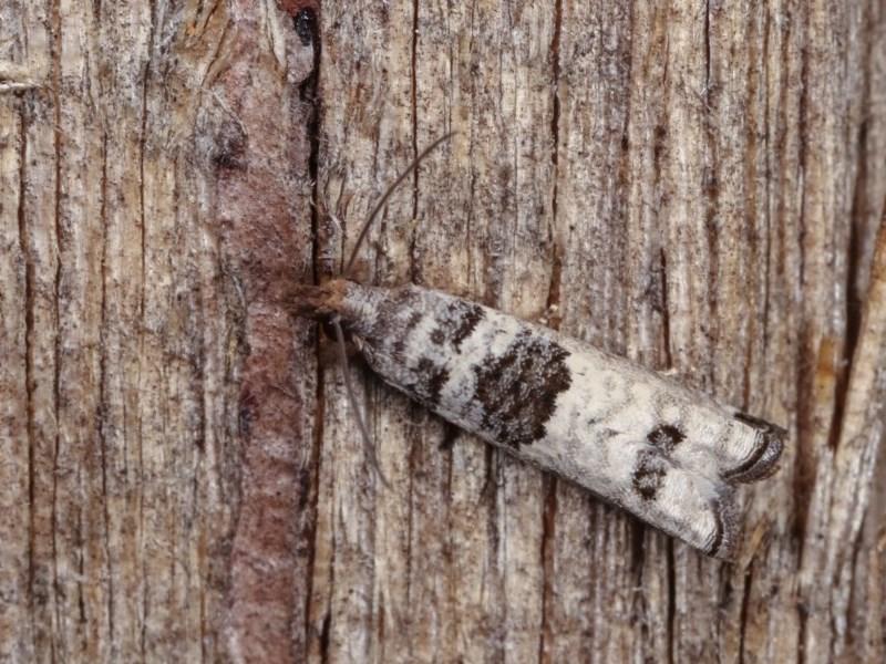 Spilonota constrictana at Melba, ACT - 10 Nov 2020