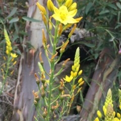 Bulbine glauca (Rock Lily) at Googong Foreshore - 13 Nov 2020 by JaneR