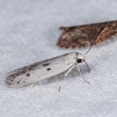 Oecophorinae (subfamily) (Unidentified Oecophorinae concealer moth) at Melba, ACT - 10 Nov 2020 by kasiaaus