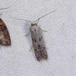 Oecophoridae (family) at Melba, ACT - 10 Nov 2020