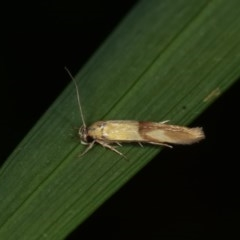Stathmopoda crocophanes (A concealer moth) at Melba, ACT - 10 Nov 2020 by kasiaaus