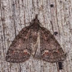 Microdes squamulata (Dark-grey Carpet) at Melba, ACT - 10 Nov 2020 by kasiaaus
