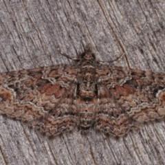 Chloroclystis filata (Filata Moth, Australian Pug Moth) at Melba, ACT - 10 Nov 2020 by kasiaaus