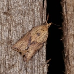 Epiphyas postvittana (Light Brown Apple Moth) at Melba, ACT - 10 Nov 2020 by kasiaaus