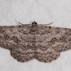 Psilosticha absorpta (Fine-waved Bark Moth) at Melba, ACT - 10 Nov 2020 by kasiaaus