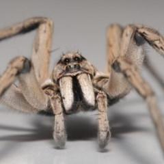 Tasmanicosa sp. (genus) (Unidentified Tasmanicosa wolf spider) at Evatt, ACT - 13 Nov 2020 by TimL