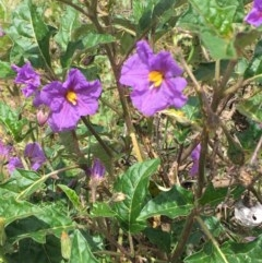 Solanum cinereum (Narrawa Burr) at Googong Foreshore - 13 Nov 2020 by JaneR