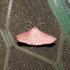 Oenochroma vinaria (Pink-bellied moth) at Kambah, ACT - 11 Nov 2020 by MatthewFrawley
