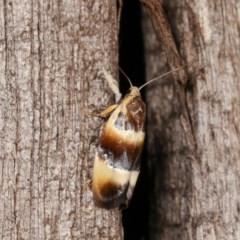 Piloprepes anassa (A Concealer moth) at Melba, ACT - 10 Nov 2020 by kasiaaus