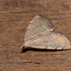 Chrysolarentia mecynata at Melba, ACT - 10 Nov 2020