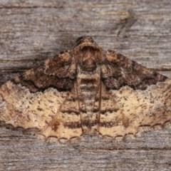 Aporoctena (genus) (A Geometrid moth) at Melba, ACT - 10 Nov 2020 by kasiaaus