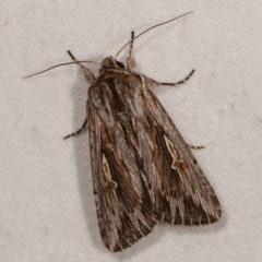 Persectania ewingii (Southern Armyworm) at Melba, ACT - 10 Nov 2020 by kasiaaus