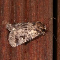 Thoracolopha verecunda (A Noctuid moth (group)) at Melba, ACT - 10 Nov 2020 by kasiaaus