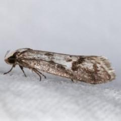 Eusemocosma pruinosa (A Concealer moth) at Melba, ACT - 10 Nov 2020 by kasiaaus