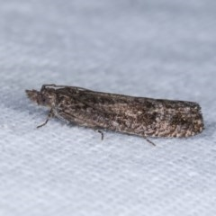 Spilonota-group (A Tortricid moth) at Melba, ACT - 10 Nov 2020 by kasiaaus