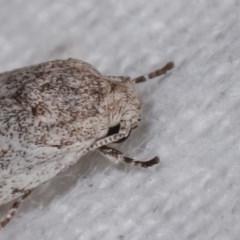 Agriophara undescribed species at Melba, ACT - 10 Nov 2020